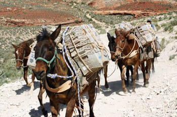 Havasu Mail Delivery Mules