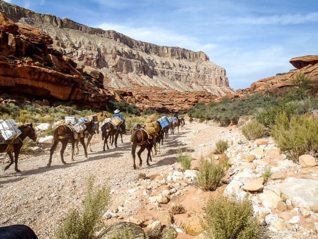 Havasu pack animals and trail